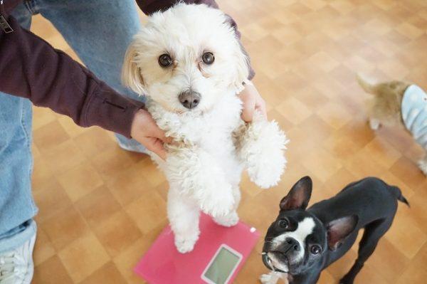体重測定 犬 幼稚園 西宮