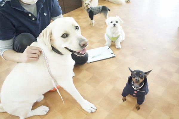 身体測定 犬の幼稚園 シュシュ